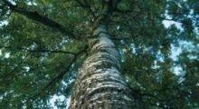 San Felice: predisposto l'abbattimento delle piante arboree pericolose